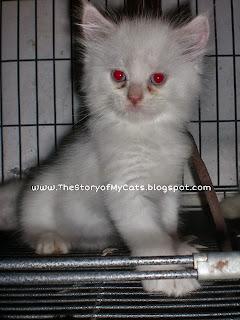 jual kucing anggora daerah surabaya sidoarjo