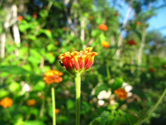 floricica