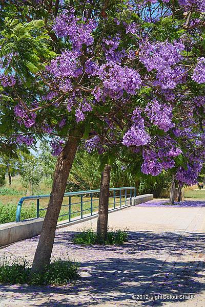 Flowering Purple Jacaranda tree close-up