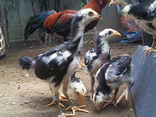 ayam birma sipetarung