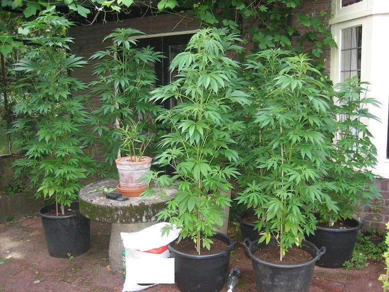 Peces Y Plantas Ornamentales Cannabis Indica Marihuana