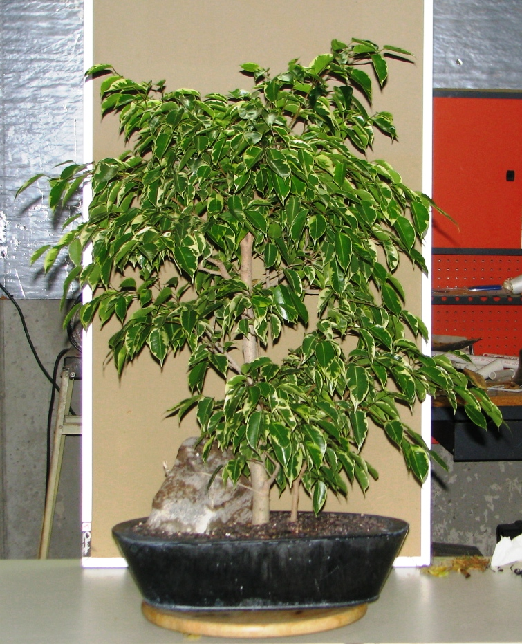 journey into bonsai ficus benjamina variegata a step. Black Bedroom Furniture Sets. Home Design Ideas