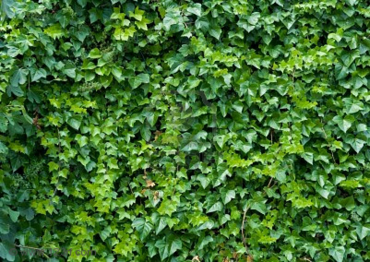 evergreen climbing vine