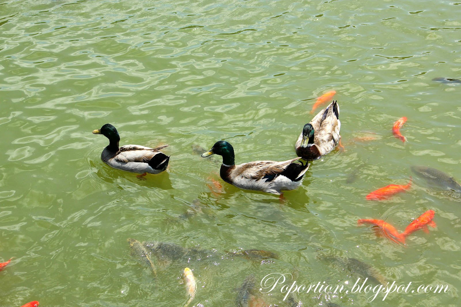 mandarin ducks in the pond