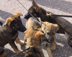 German shepherd puppies on leads greeting each other