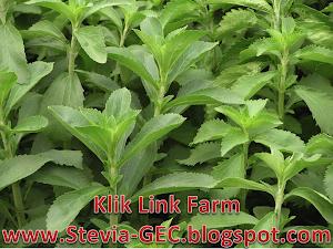Pokok Herba Stevia