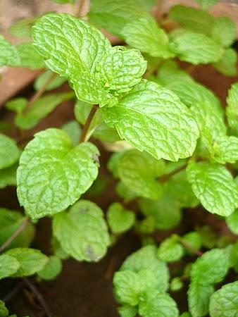 Kebaikan daun pudina merawat kesihatan luar dalam