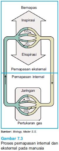 skema pernapasan internal eksternal