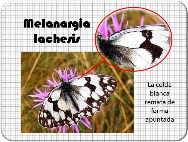 Celda de la Melanargia lachesis