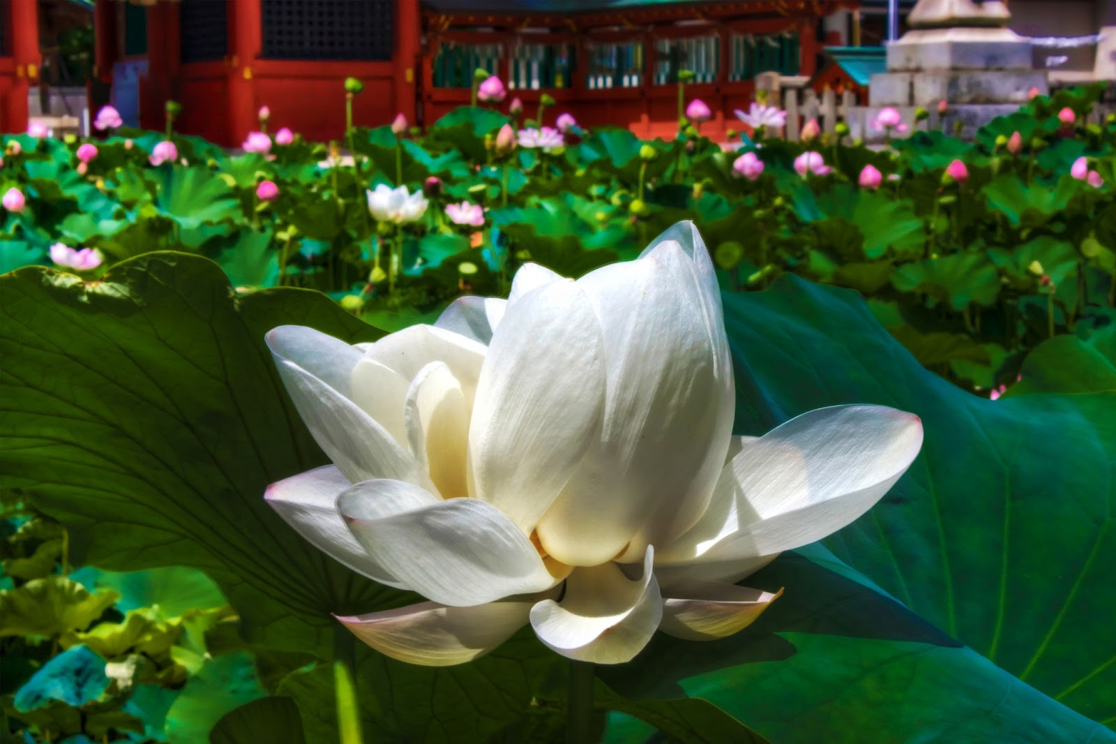 Lotus Flower Hd Wallpapers Hd Wallpapers High Definition Free