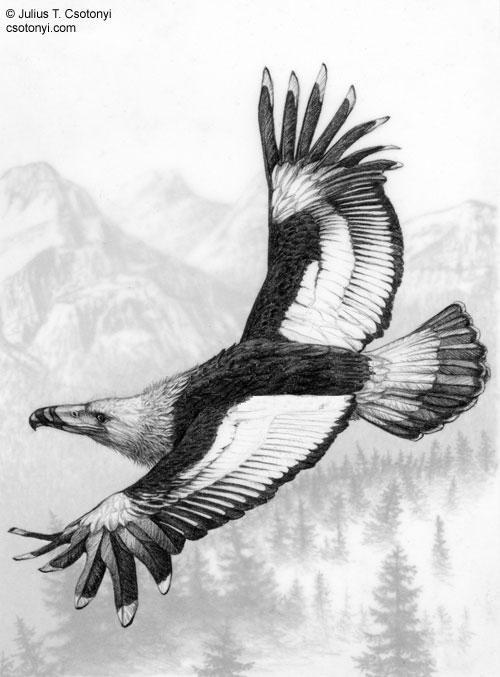 gambar burung garuda terbesar - foto hewan - gambar burung garuda