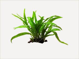 gambar-Microsorum-Pteropus-Kadaka-Mini-Tanaman-Fern-Pakis-Aquascape