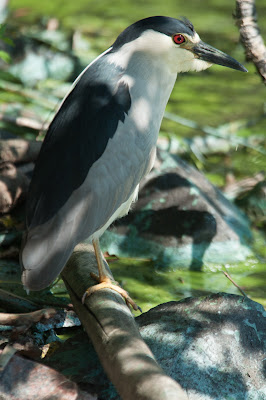 Black-crowned Night-Heron, Kountze Lake