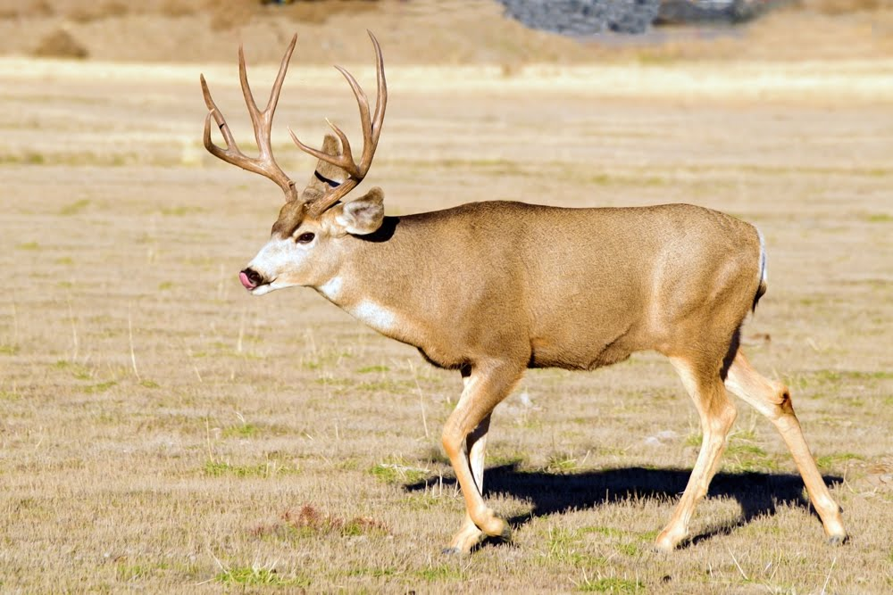 Mule Deer male_1426