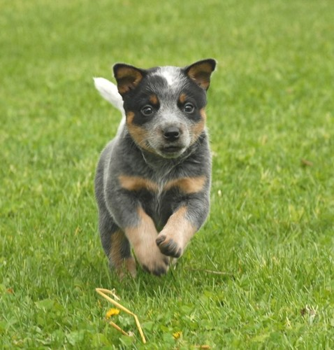 Australian Cattle Dog and Puppies