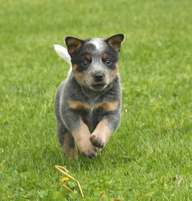 Australian Cattle Puppy