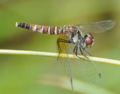 Nannophya pygmaea