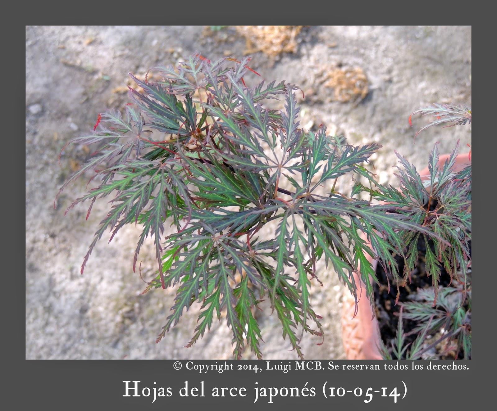 Fotograf as de tintinlmcb fotograf as de rboles ornamentales - Arce arbol espana ...