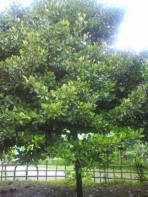 pohon sawo tempat tinggal hantu