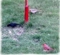 cardinal mates and cowbird image