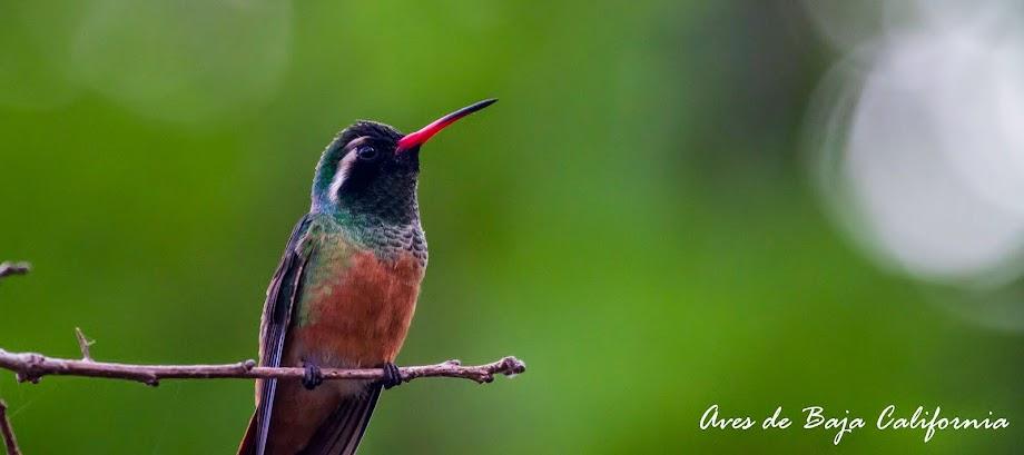 Aves de Baja California