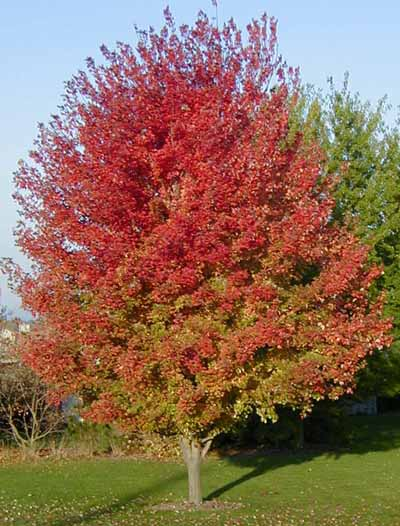 Autumn Blaze Maple4
