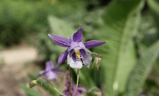 Columbine Flowers Pictures