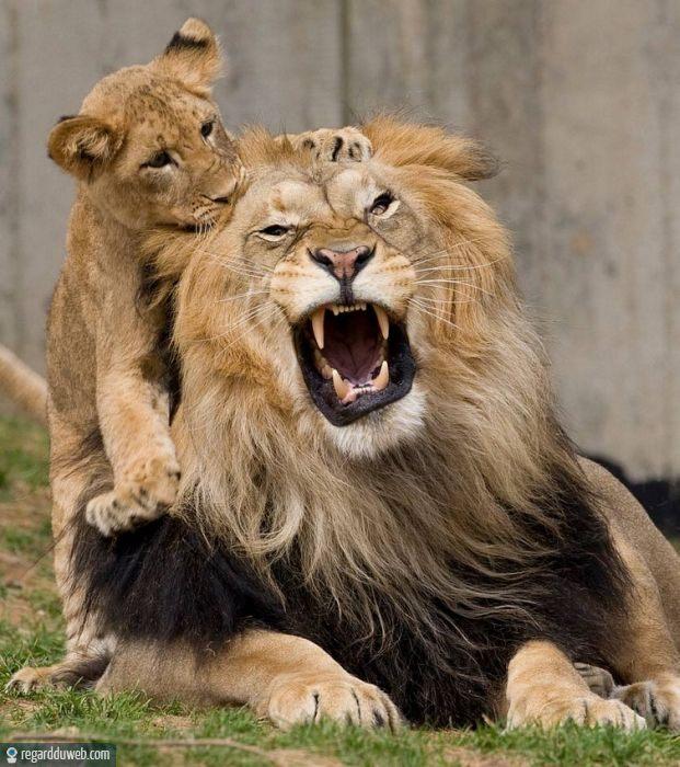 photos dr les et insolites animal lion v14 des milliers de photos dr les et insolites. Black Bedroom Furniture Sets. Home Design Ideas