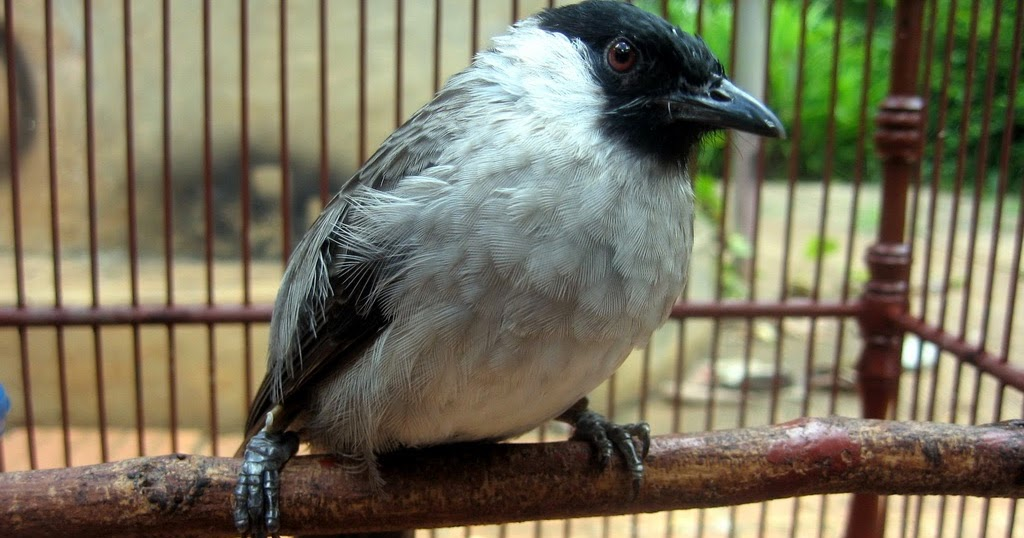 cara merawat burung kutilang agar cepat gacor bunyi tips