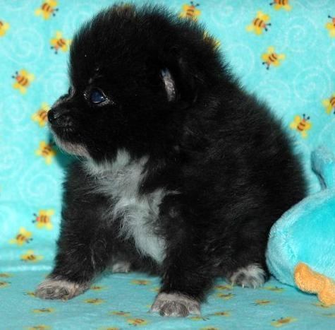 Cute Puppy DogsCute Black Pomeranian Puppy Pictures