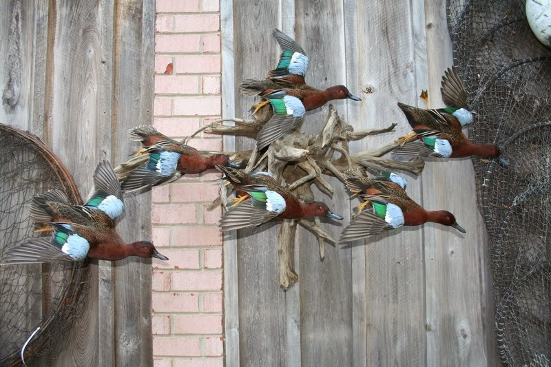 mexico duck hunting trophies cinnamon teal