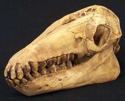 saiga-antelope-skull