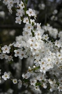 Frühlingsblüher Schlehe