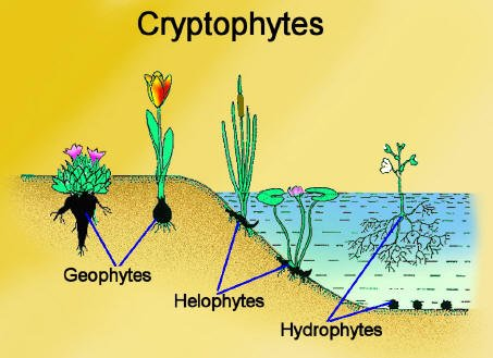 Examples of Hydrophytes http://biologicalexceptions.blogspot.com/2012/02/dont-eat-yellow-snow.html