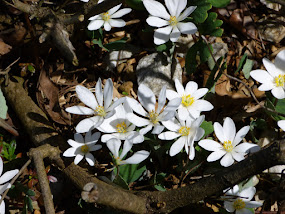 White Flowers of Spring