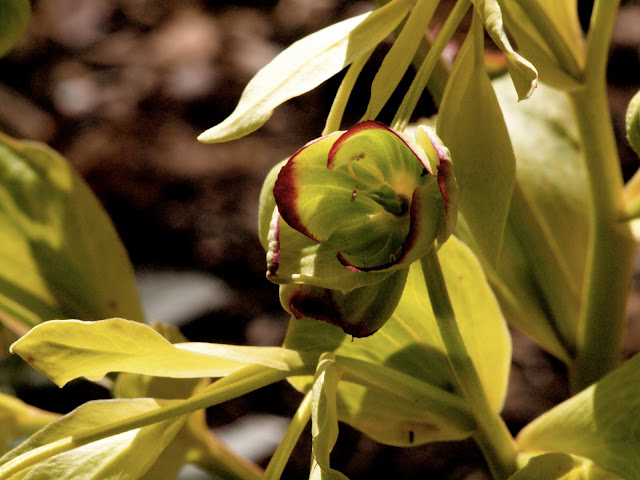 Stinking Hellebore (Bear's Foot), Conservatory Garden, NYC