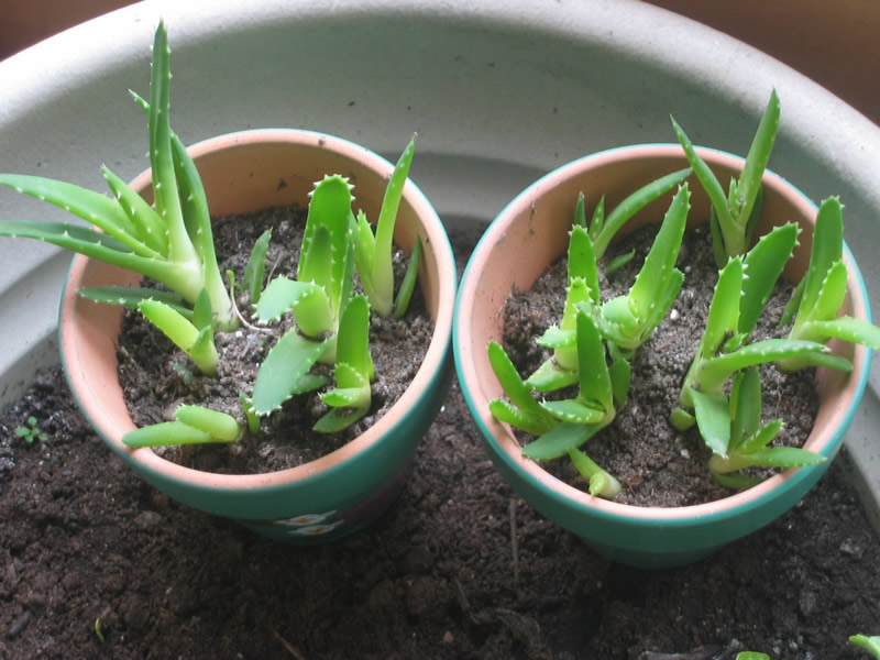 how to grow aloe vera from seed the garden of eaden. Black Bedroom Furniture Sets. Home Design Ideas