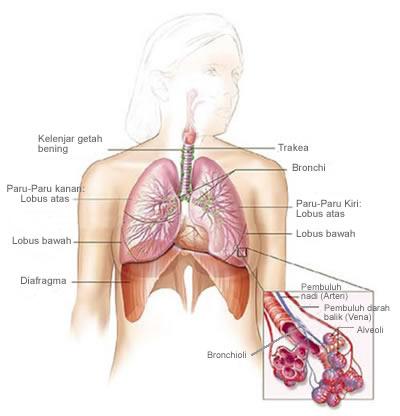 Gambar Sistem Pernafasan Paru-paru manusia