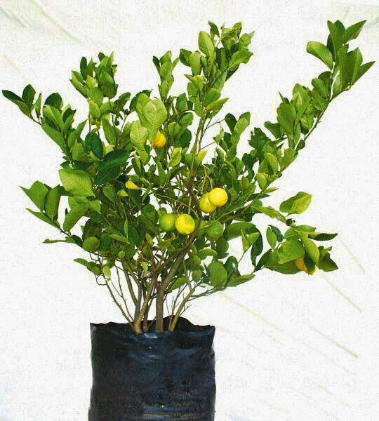 Lemon trees for sale in india for Lemon plant images