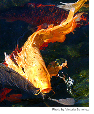 Pets type of fresh water fish for Csulb japanese garden koi pond
