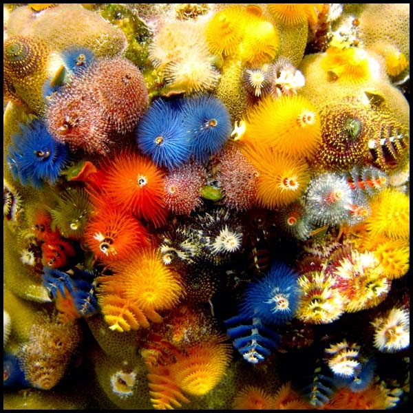 Christmas Tree Worm Lifestyle Just Another Wordpress Site