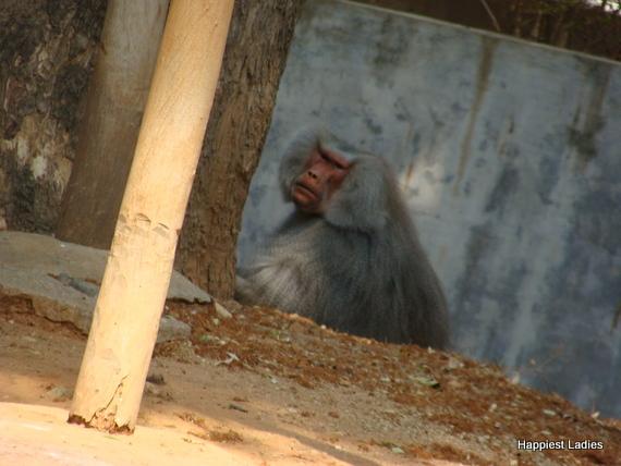 baboon mysore zoo