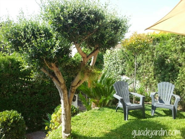 Podar un olivo con forma guia de jardin - Poda de hortensias en maceta ...