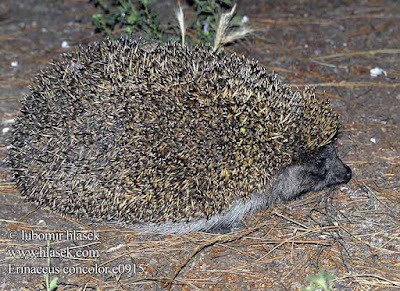 Southern white breasted Hedgehog