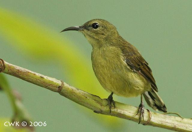 Foto Burung Kolibri Jantan