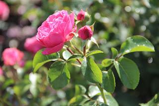 фотография розовой розы