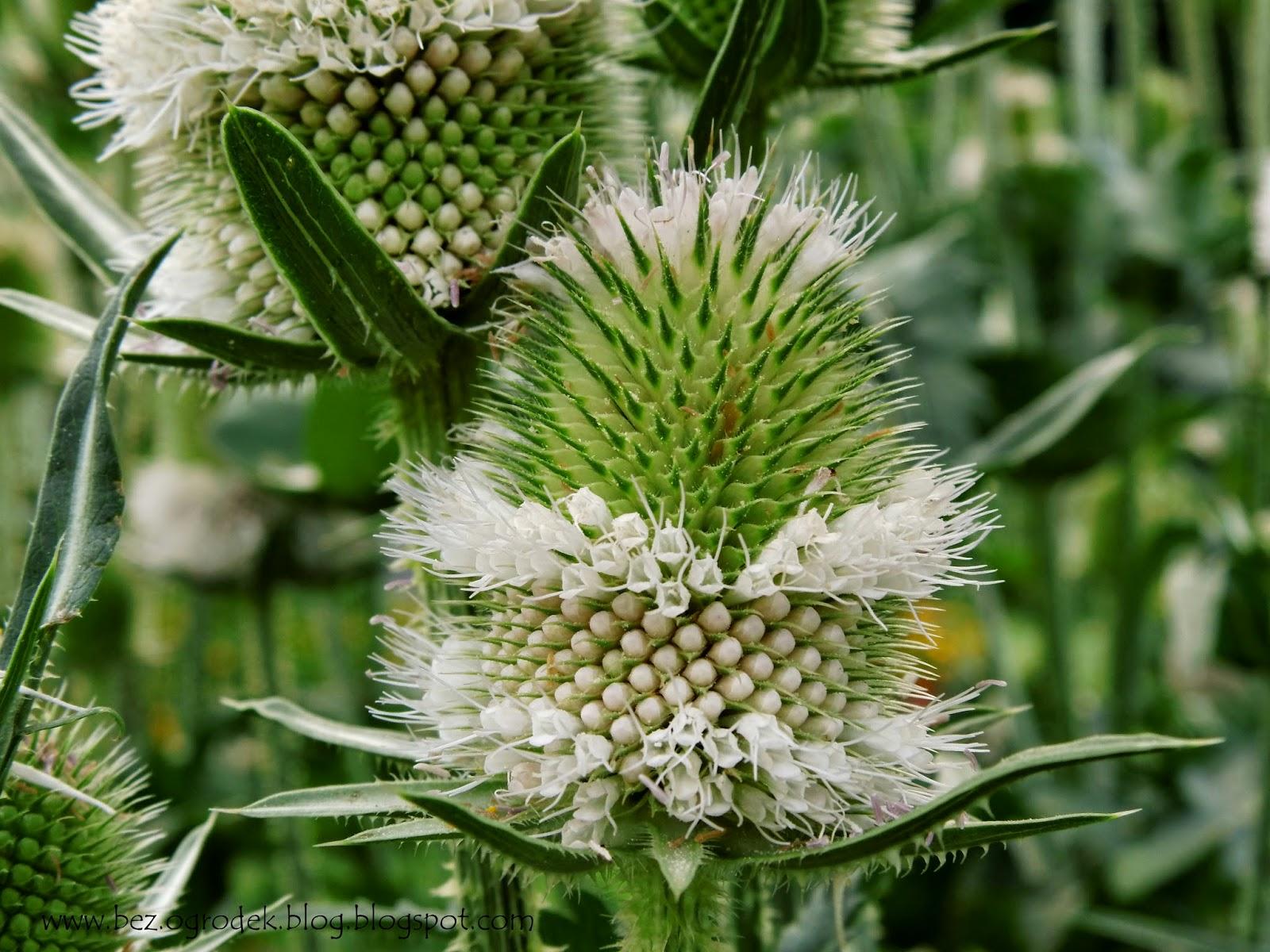 Fuller's Teasel flowers