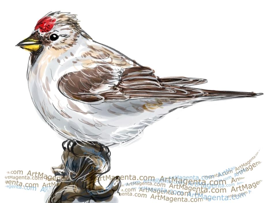 Arctic Redpoll sketch painting. Bird art drawing by illustrator Artmagenta