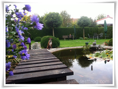Boxer Amy an der Brücke beim Gartenteich