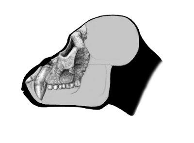 craneo de Pierolapithecus